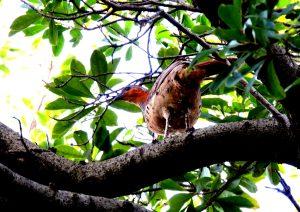 樹上のコジュケイ
