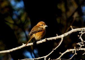 百舌鳥♀ 150131