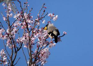 イカルと桜  150330