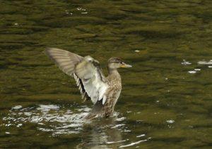 f42 境川 コガモ♀羽ばたき 6-2 151023