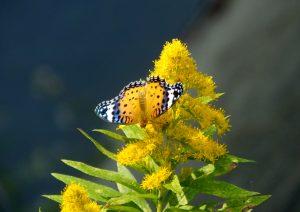 背高泡立草(セイタカアワダチソウ)とツマグロヒョウモン♀ 7-2 151022f