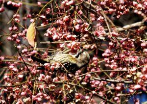 f5 古淵鵜野森公園 マユミの種子を啄むコゲラ 1-2 160103