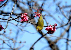 9c9 横浜市児童遊園地 寒緋桜とメジロ 3-2 160317