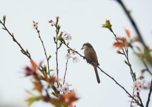 9c14 座架依橋 桜と百舌鳥♂ 4-2 160410