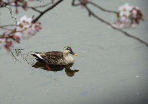 f8 成瀬めだか池 桜とカルガモ 1-2 160401