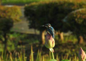 9c1 蟹ヶ谷公園 蓮の花と翡翠 17-2 160805
