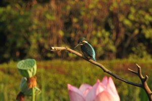 9c1 蟹ヶ谷公園 蓮の花と翡翠 7-2 160805