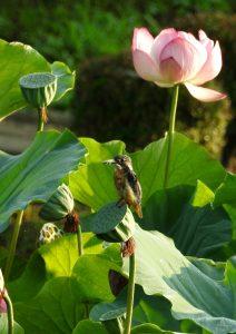 9c1 蟹ヶ谷公園 蓮の花と翡翠 23-2 160805